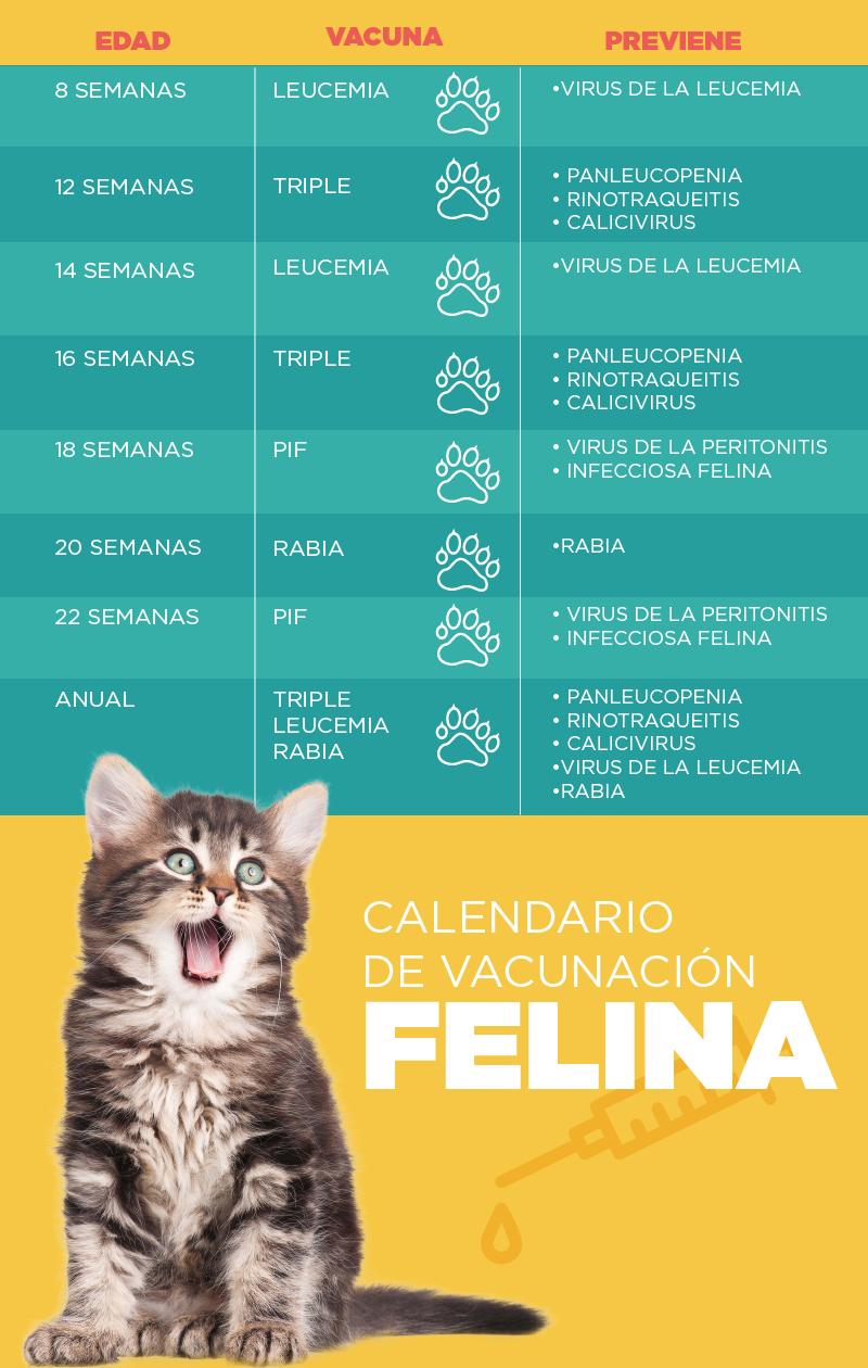 Vacunación gatos - Caucasia