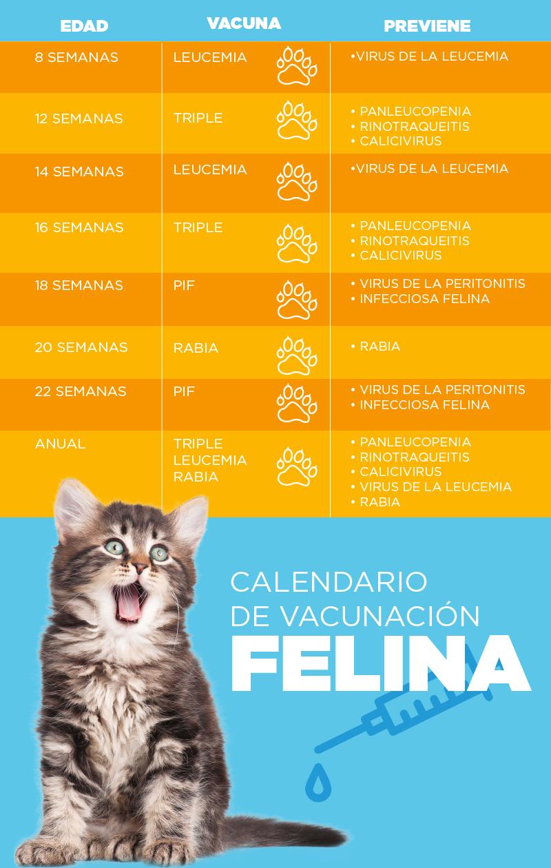 Vacunación felina - Wajiira